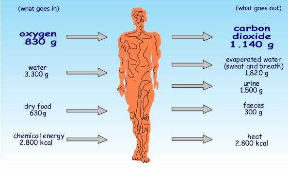 metabolism Ideal Metabolism
